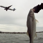First Striped Bass of the year JFK New York