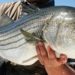 Striped Bass NY
