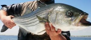 Striped Bass NY