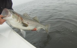 Striped Bass on top