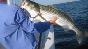 NY Stripers in July