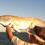 Redfish in the sun