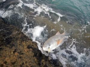 conventional redfish