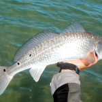 redfish, flats, fly fishing, port aransas, mustang island