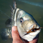 Sheephead, fly fishing