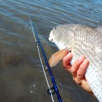 red drum, fly fishing