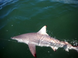 sharks, fly fishing, blacktip, conventional, tackle