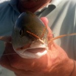 redfish, fly fishing, Corpus Christi, flats, saltwarer, poppers