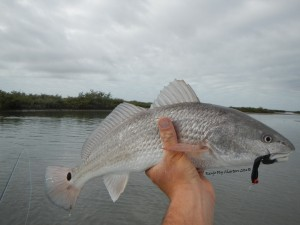 redfish, on, fly, port aransas, guide, flyfishing, saltwater