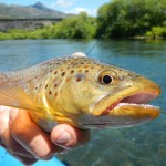 brown trout streamer flyfishing argentina patagonia river guides prg