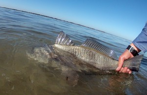 black drum, fly fishing, guides, charters, texas, coast