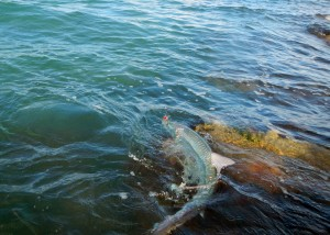 tarpon, catch, release, repeat, fly fishing, texas, gulf coast,