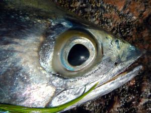 kingfish, mackerel, fly ishing, eye