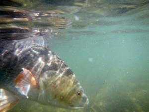 redfish, fly fishing, texas, gulf, coast, guide