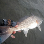 redfish, on the fly, fishing., port aransas