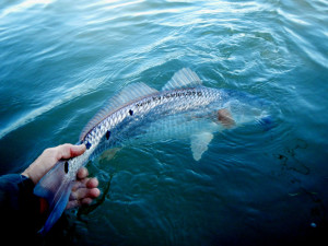 fly fishing, port aransas, texas, redfish, guide, charters