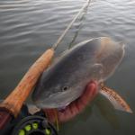 redfish, tailing, port aransas, corpus christi, rockport, guide