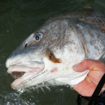 fly fishing, peanuts, black drum, guide, rockport, corpus christi