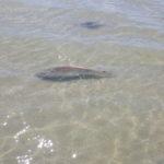 Redfish port aransas fly fishing Rockport Corpus christi