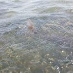 redfish tail fly fishing port aransas corpus christi rockport coast gulf mexico