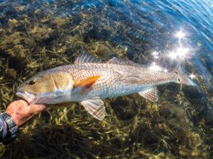 texas, gulf, redfish, coast, fly fishing, port aransas, rockport, corpus christi, laguna madre, tailing,