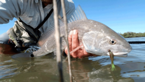 redfish, drum, fly fishing, port aransas, texas, coast, guide, saltwater, charter, airflo, sims, hatch, beavertail, marsh, spartina, grass, sunrise, mullet, crab, shrimp, fly only, catch and release, trout, speckled, speck, snaggletooth,