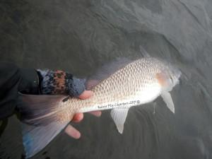 redfish, on the fly, fishing., port aransas